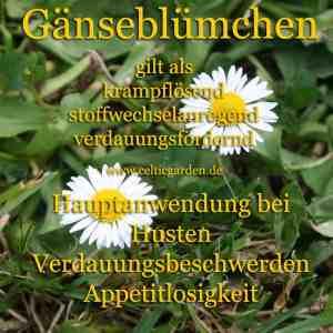 Gänseblümchen Steckbrief
