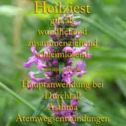 Steckbrief Heilziest