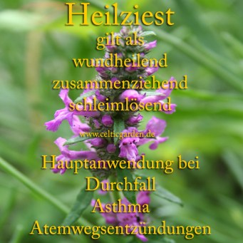 Steckbrief Heilziest