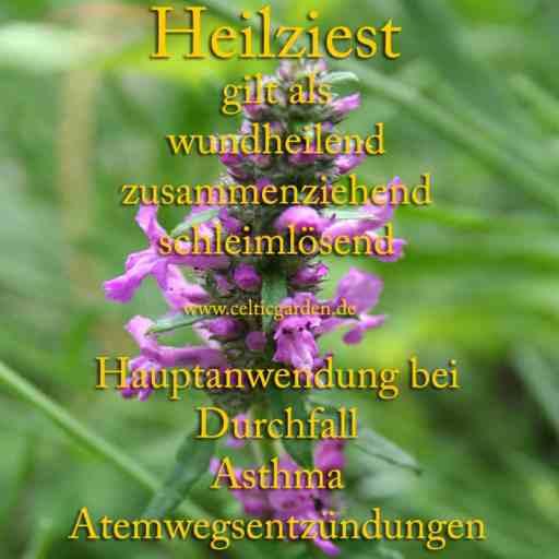heilpflanze_heilziest
