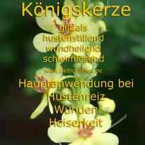 heilpflanze_königskerze