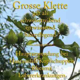 heilpflanze_klette