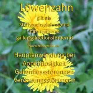 heilpflanze_löwenzahnkl