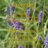 Lavendel Steckbrief