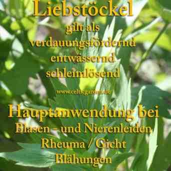 heilpflanze_liebstöckel