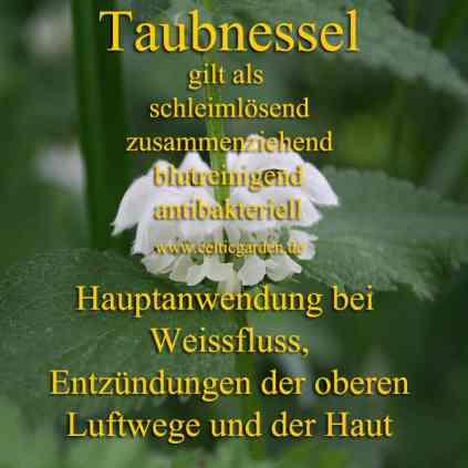 heilpflanze_taubnessel