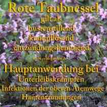heilpflanze_taubnessel_rot