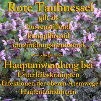 heilpflanze_taubnessel_rot