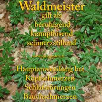 waldmeister steckbrief