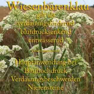 heilpflanze_wiesenbärenklau