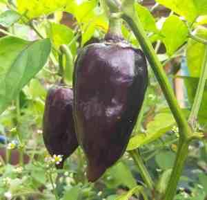 Schwarze ungarische Paprika
