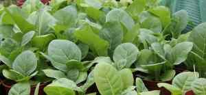 Tabak Jungpflanzen