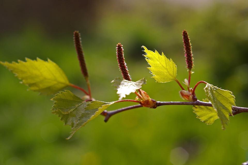 junge birkenblätter