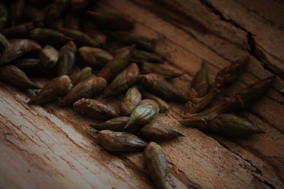 Pappelknospensalbe gegen schlecht heilende Wunden