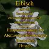Steckbrief Eibisch