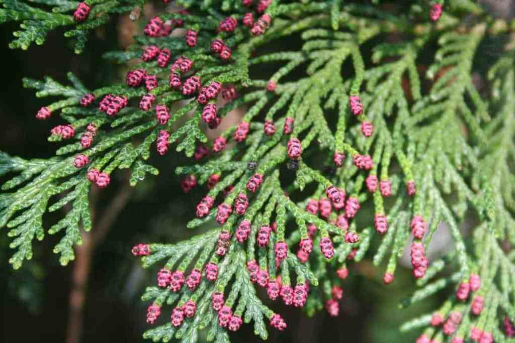 Scheinzypresse rote Blüte
