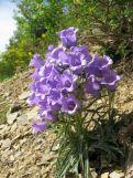 Campanule à belles fleurs