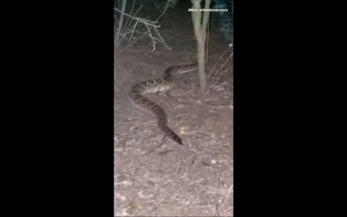cobra cascavel caçando a noite