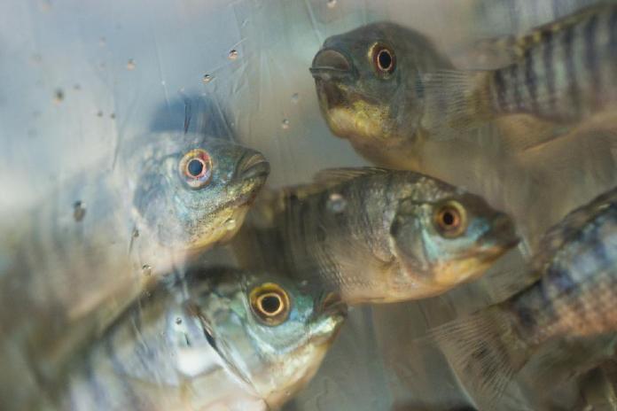 peixes psicultura - gov
