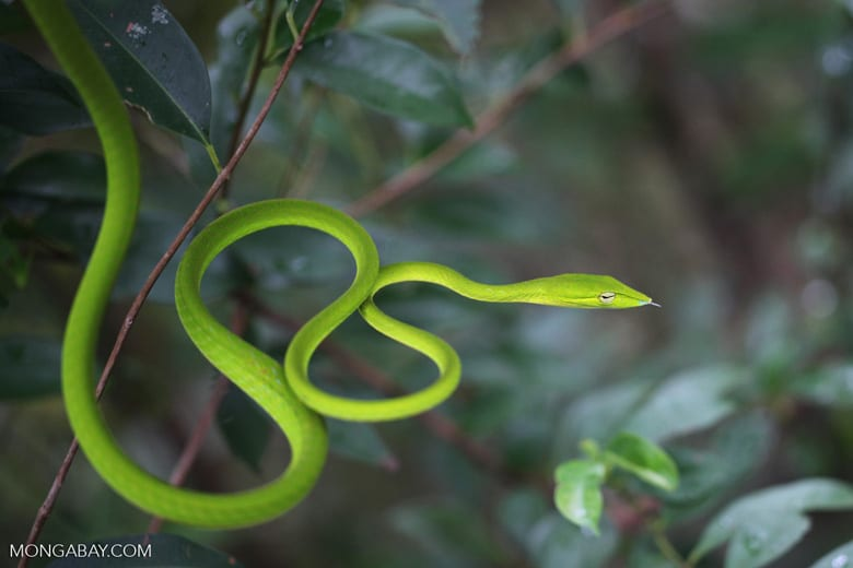The asian vine snake is a relatively common snake species in Indonesia, being also present on the Nusa islands.