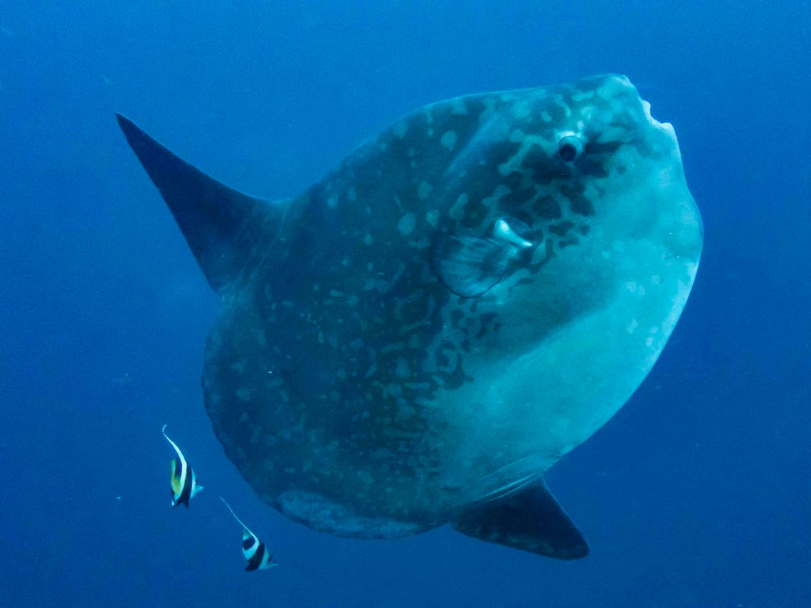 Close encounter with a sunfish at dive site Sental