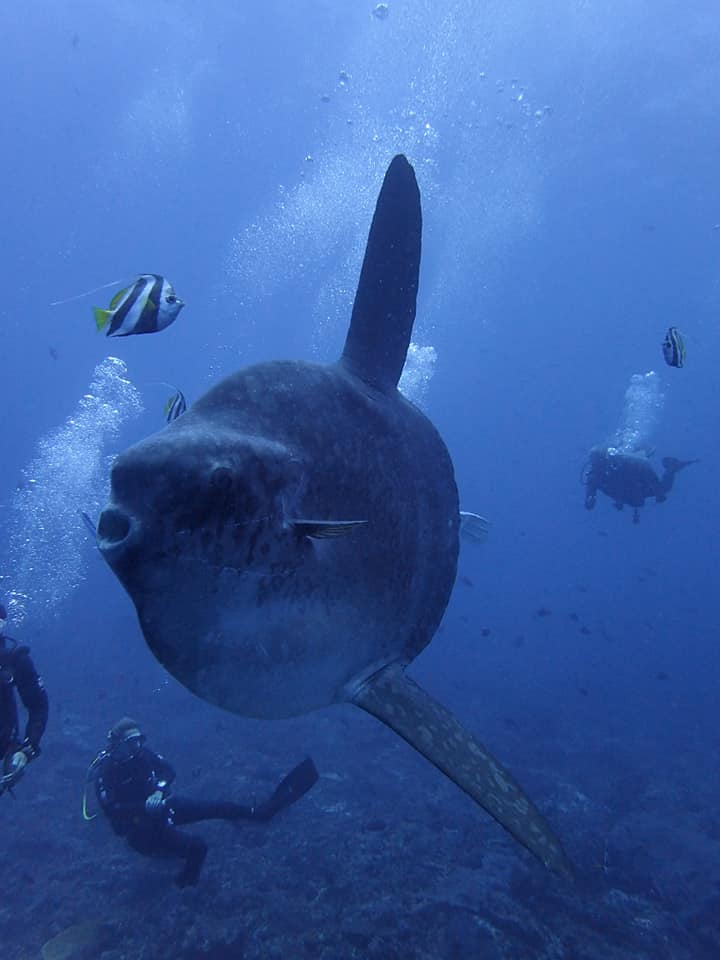 Sunfish with many divers around.