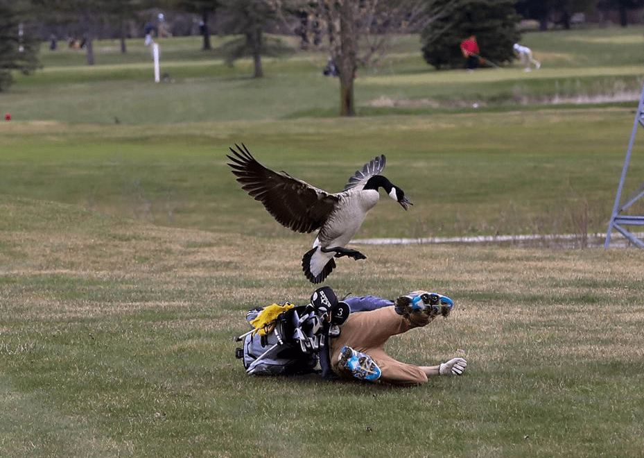 geese attack goose-846653543