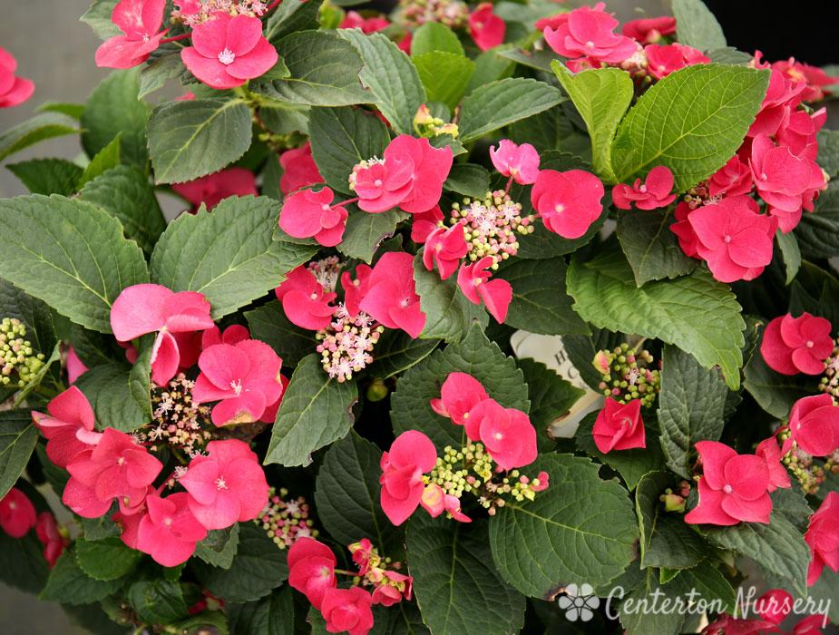 Cherry Explosion Lacecap Hydrangea