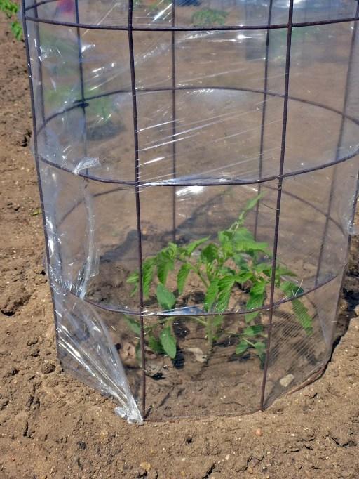 Raymond Tomato Garden 5