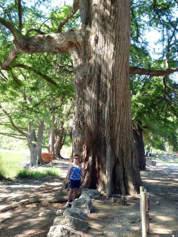 Frio Huge Cypress Tree
