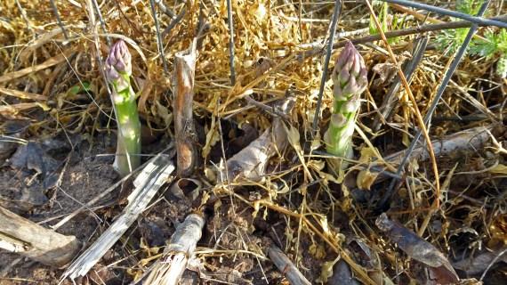 Asparagus Spears 1