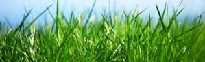 nasiona traw