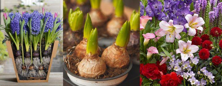 cebule kwiatowe