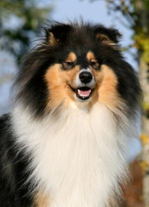 Les chiens de race 2