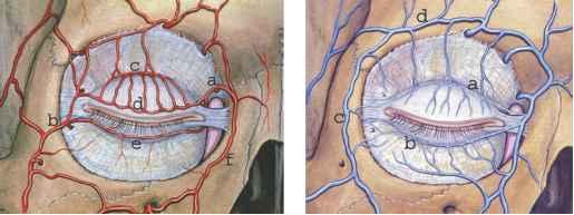 Anatomy of the Eyelids - Eyelid Diseases - Central Lakes ...