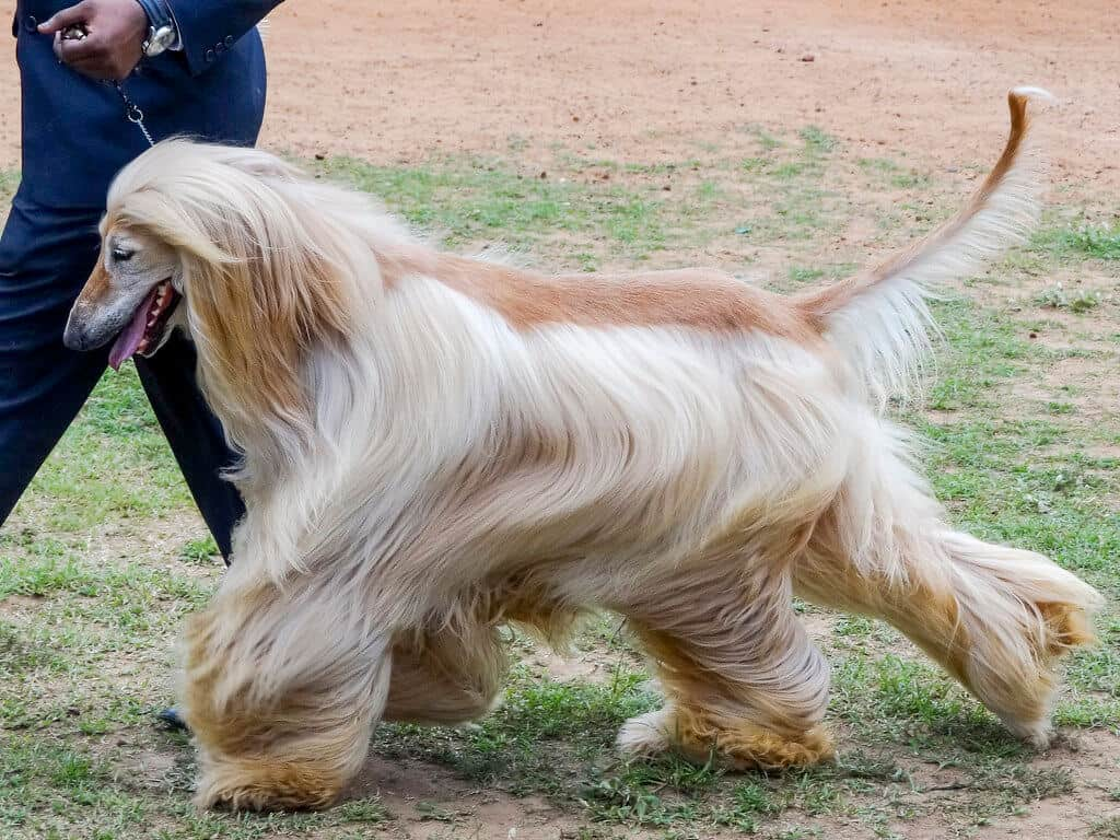 Hypoallergenic Dogs - Afghan Hound