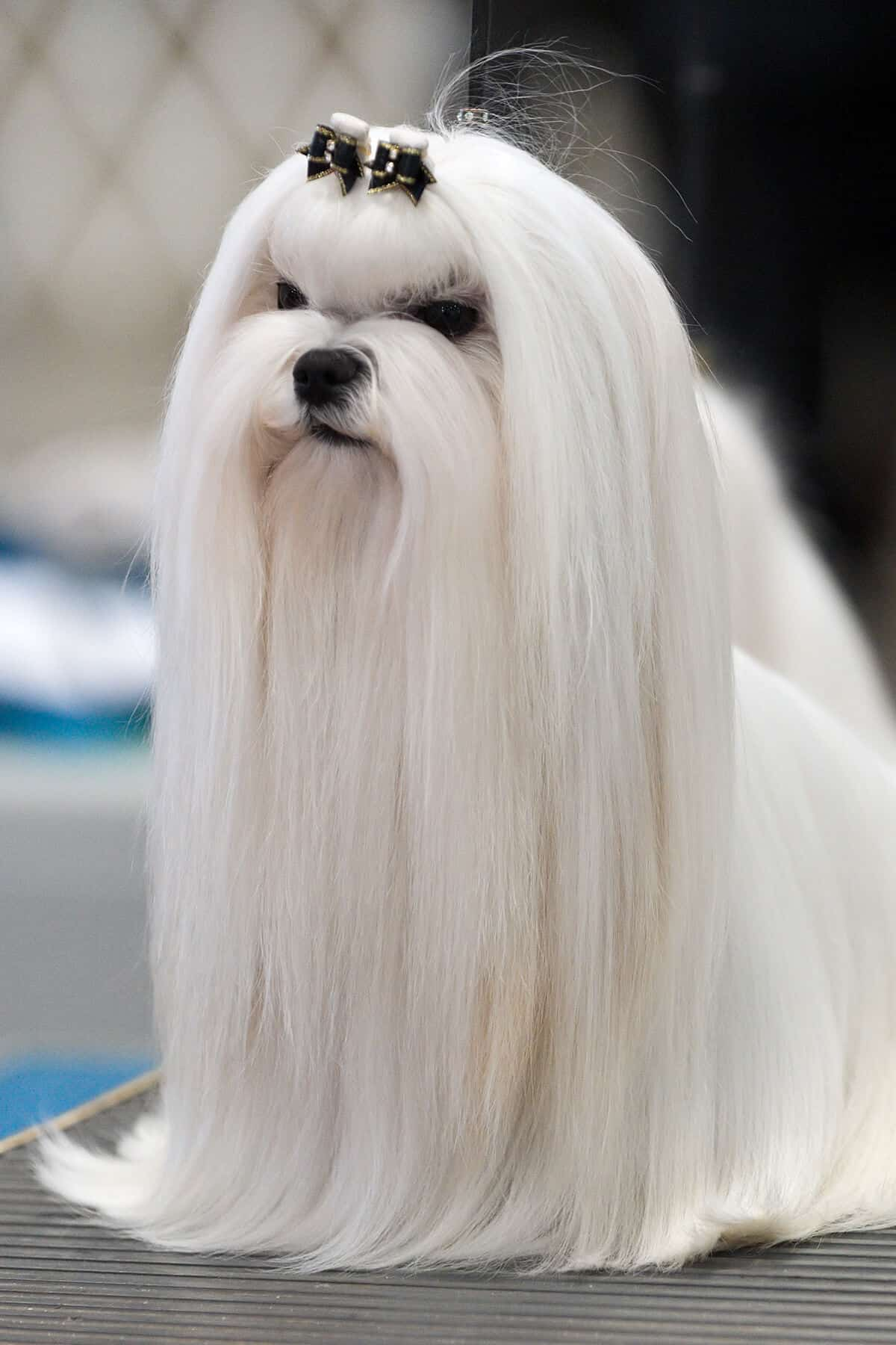 Maltese long hair