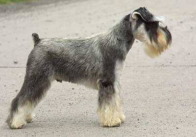 Miniature Schnauzer doesn't shed