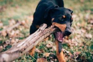 Dog chewing on a stick
