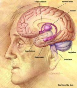 NIA_human_brain_drawing400