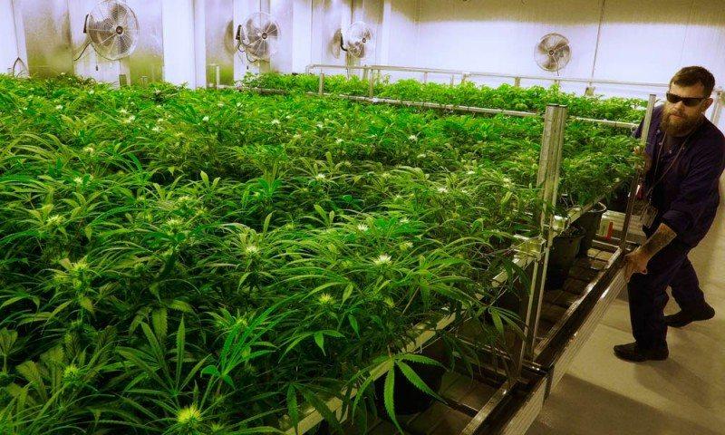 coltura marijuana