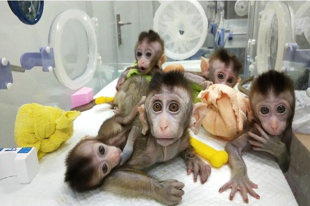 embrioni chimera uomo-scimmia