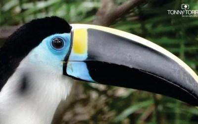 Historias de la selva: Pancho, el tucán