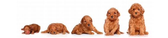 crecimiento del perro