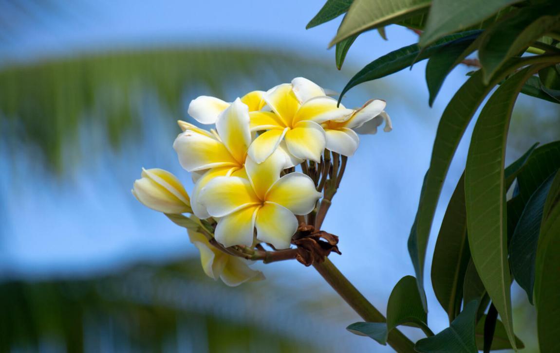 Flowers in Nauru