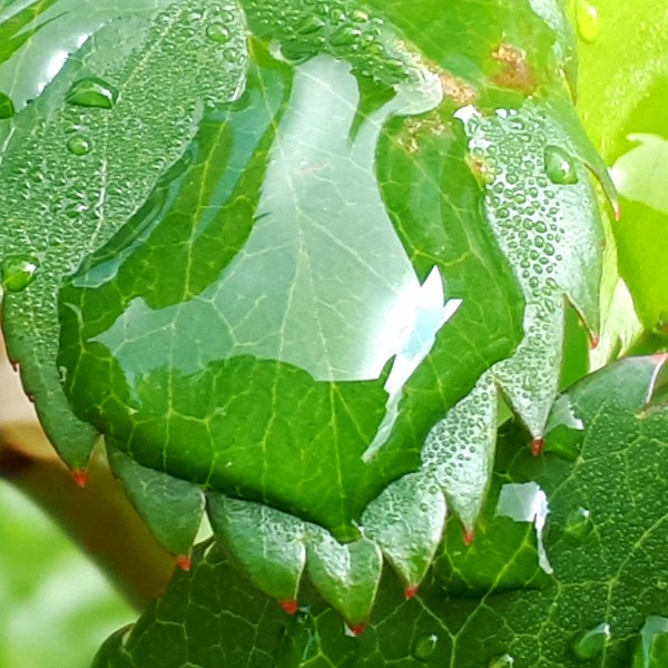 Reflections Within Raindrop On Leaf