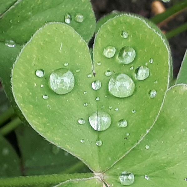 Raindrops on a clover leaf