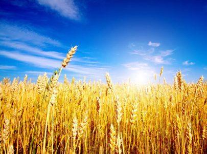 L'uomo ha cominciato a mangiare pane 10 mila anni prima di imparare a coltivare il grano