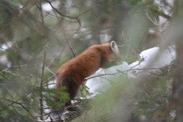 Record shot of an American Marten