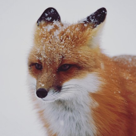 Red Fox of Instagram